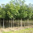 Notenboom - Juglans Regia